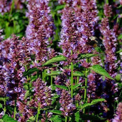 Agastache 'Bellicious Purple' ('Agapd'PBR)