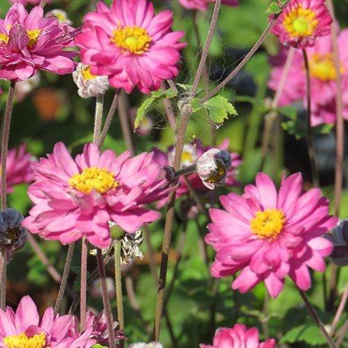 Anemone hybrid 'Giselle' PBR