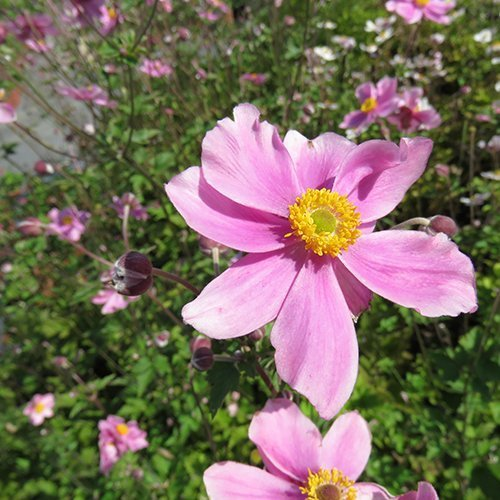 Anemone hybrid 'Serenade'