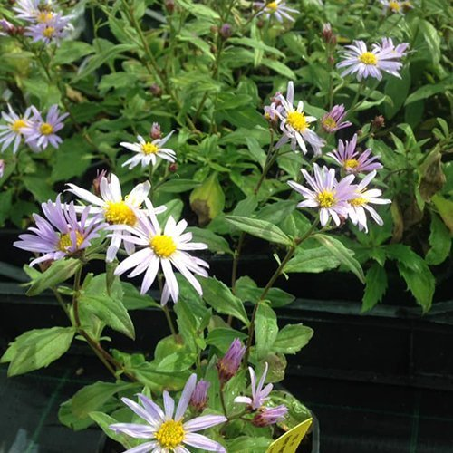Aster ageratoides J.S.® 'Eleven Purple' PBR