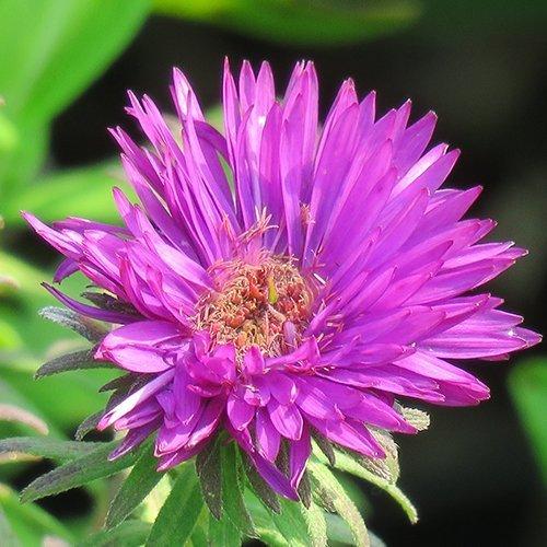 Aster novae- angliae 'Purple Dome'