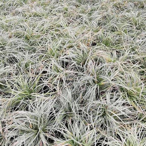 Carex evercolor® oshimensis 'Everest' ('Fiwhite'PBR)