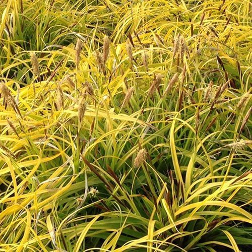 Carex evercolor® oshimensis 'Everillo' PBR