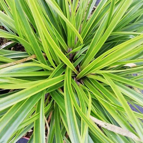 Carex evercolor® oshimensis 'Everlime PBR