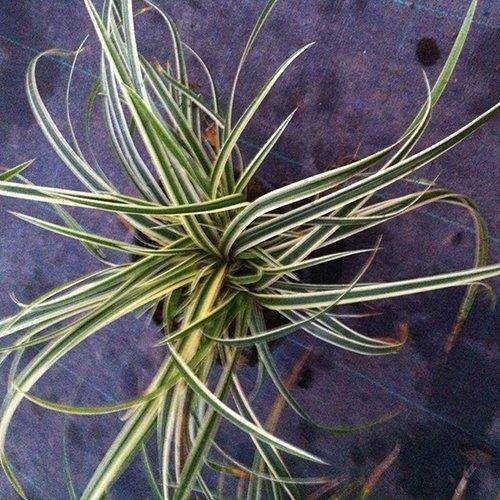 Carex morrowii 'Ice Ballet' PBR