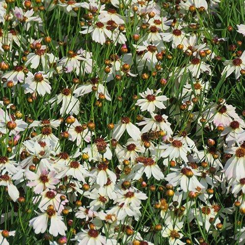 Coreopsis r. Bloomsation ®'Chamaleon' ('URIBL02'PBR)