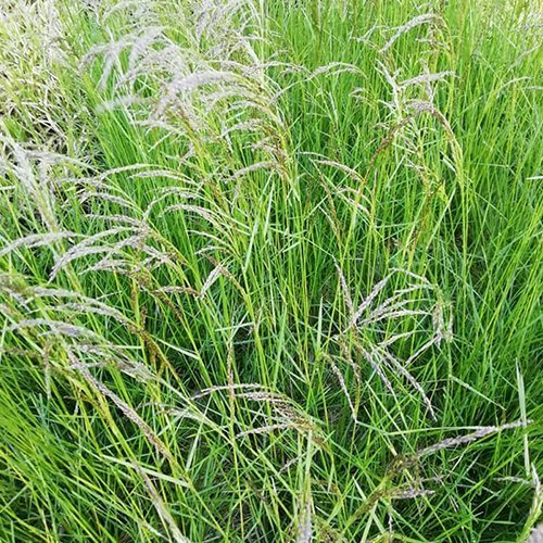 Deschampsia cespitosa 'Gold Tau'