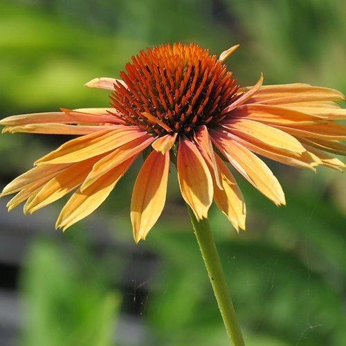 Echinacea 'Big Kahuna' PBR