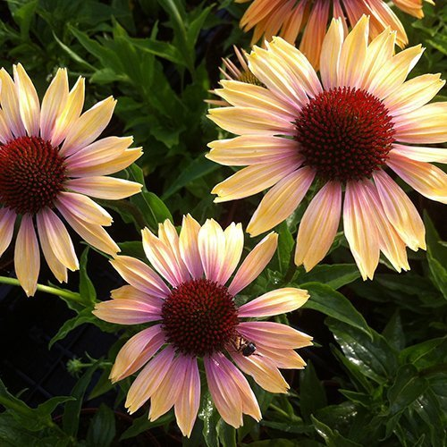 Echinacea 'Evening Glow' PBR