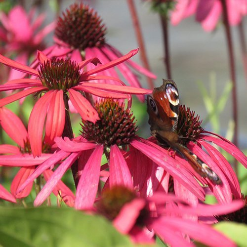 Echinacea 'Glowing Dream' PBR