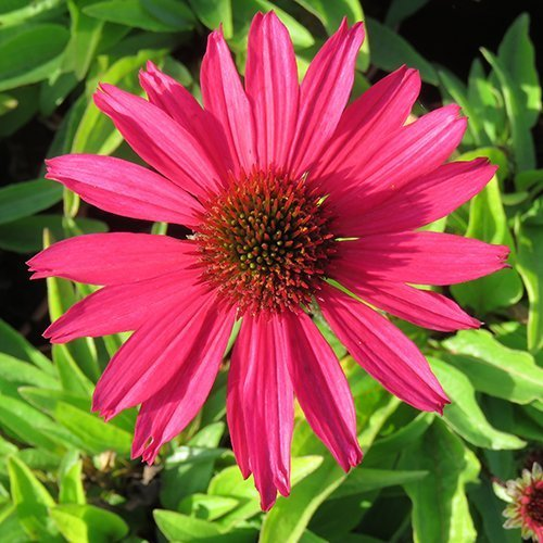 Echinacea 'Sensation Pink' PBR