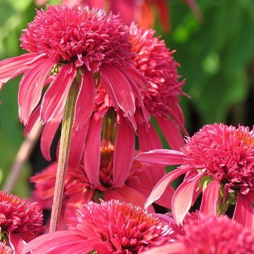 Echinacea 'doublescoop™ Cranberry'('Balscanery'PBR)