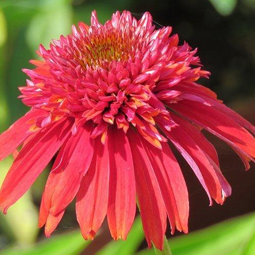 Echinacea 'doublescoop™ Orangeberry' ('Balscoberr'PBR)