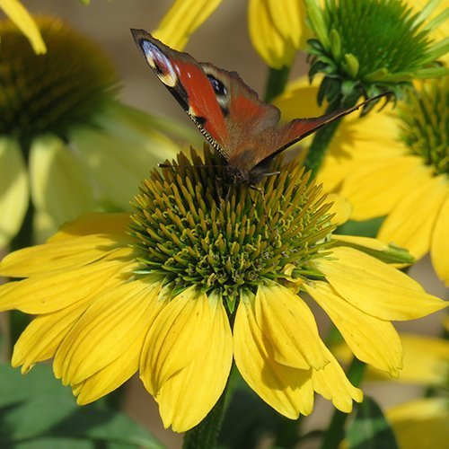 Echinacea sombrero™ 'Lemon Yellow'('Balsomemy' PBR)