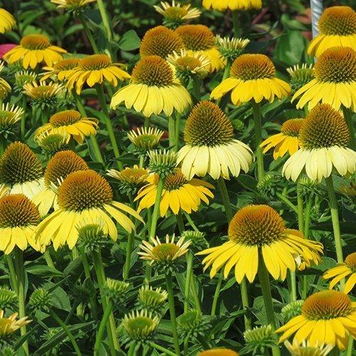 Echinacea sombrero™ 'Lemon Yellow impr.' ('Balsomemym'PBR)