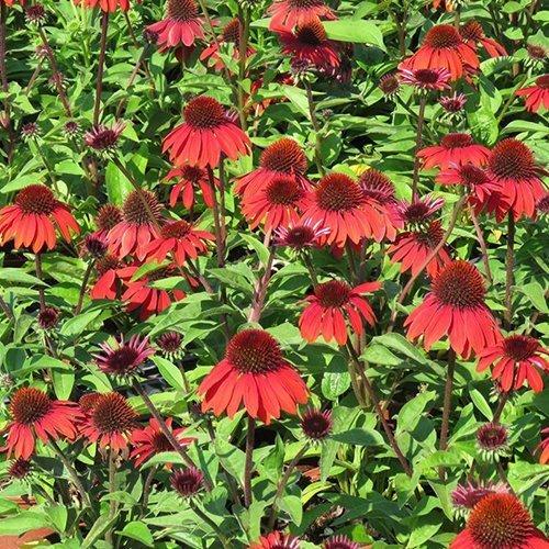 Echinacea sombrero™ 'Sangrita' ('Balsomanita'PBR)
