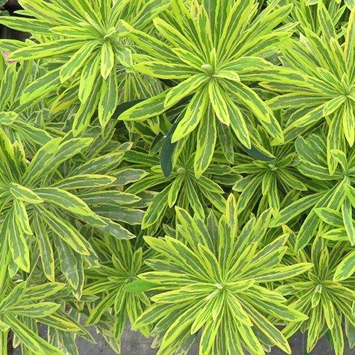 Euphorbia x martinii 'Ascoot Rainbow' PBR Green Service