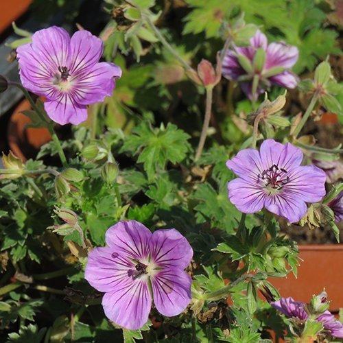 Geranium wallichianum 'Havana Blues' ('Noorthava' PBR)