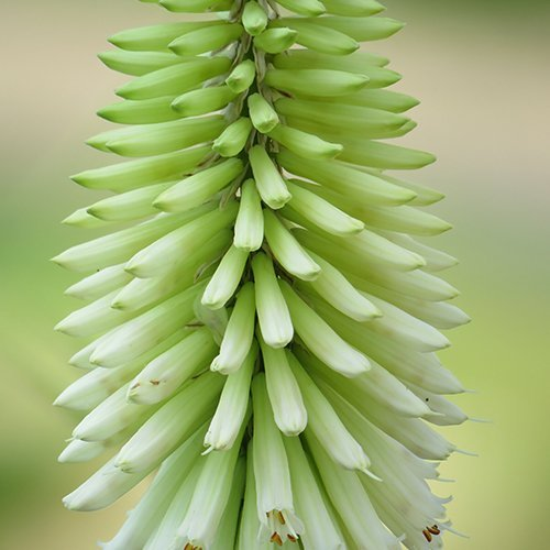Kniphophia 'Ice Queen'