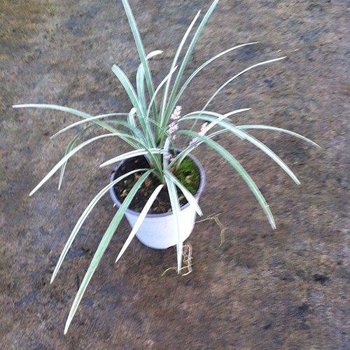 Liriope spicata 'Silver Dragon' (var. bianco)