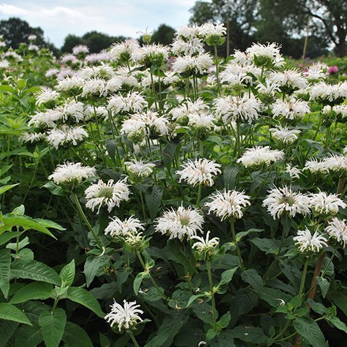Monarda didyma Bee-you® 'Bee-Bright' PBR