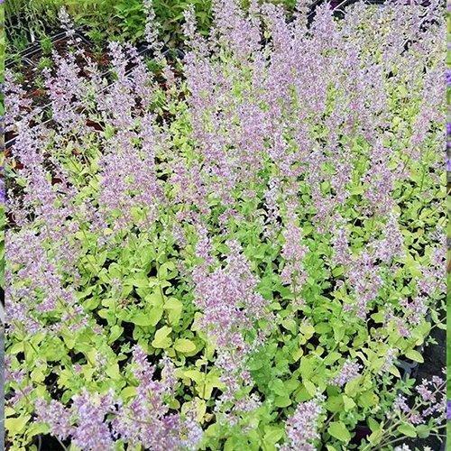 Nepeta grandiflora 'Summer Magic'PBR