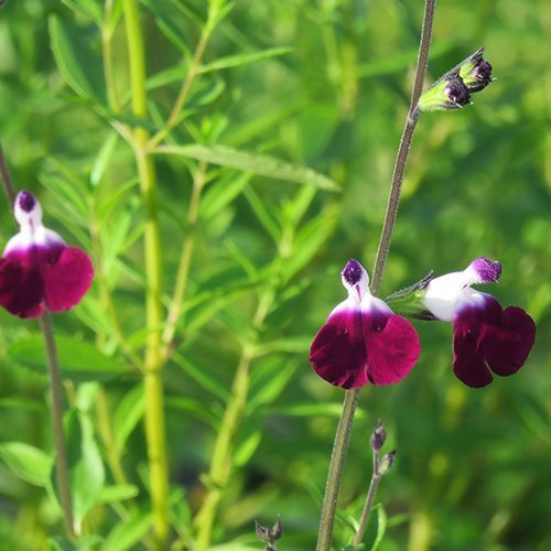 Salvia greggii 'Amethyst Lips' PBR