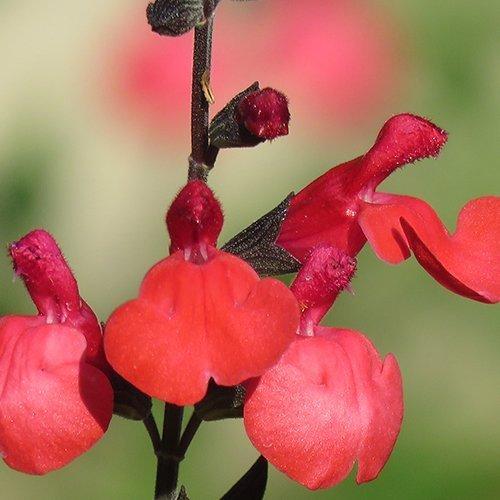 Salvia greggii 'Royal Bumble'