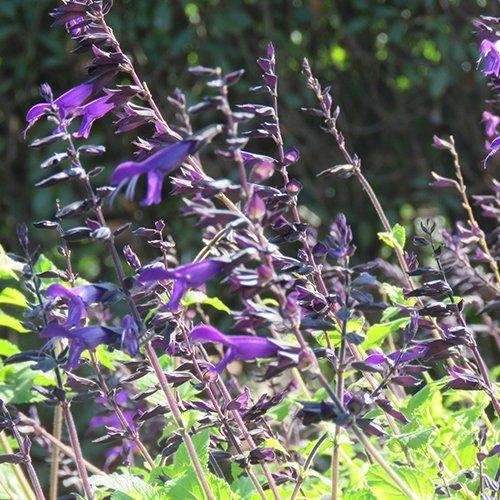 Salvia hybrid 'Amistad' PBR