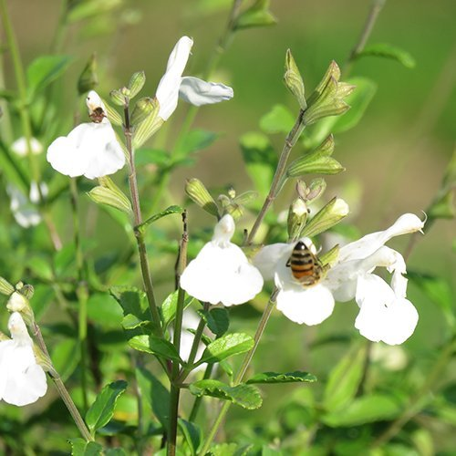 Salvia micr. 'Gletsjer'