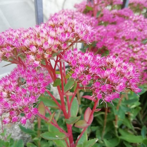 Sedum hybrid 'Munstead Dark Red'