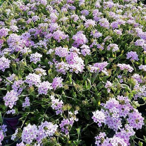 Verbena hybr. Seabrocks Lavender' ('Sealav'PBR)