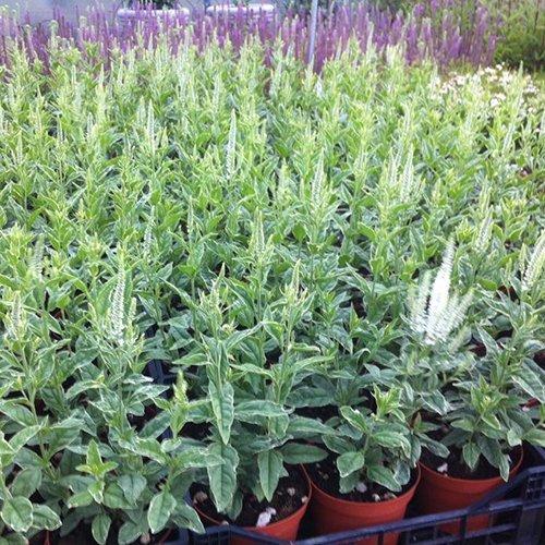 Veronica longifolia 'Charlotte' PBR