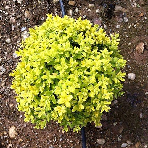 Buxus Latifolia 'Maculata Aurea' (palla)