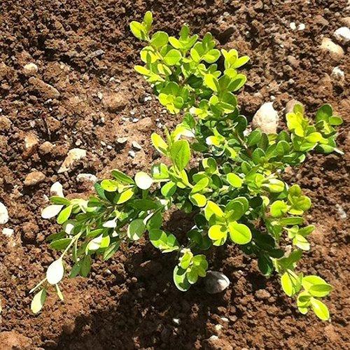 Buxus Macrophylla 'Faulkner' (cubo)