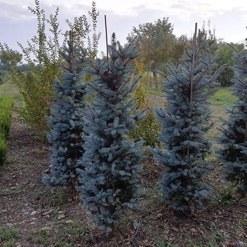 Picea Kosteriana 'Hoopsi'