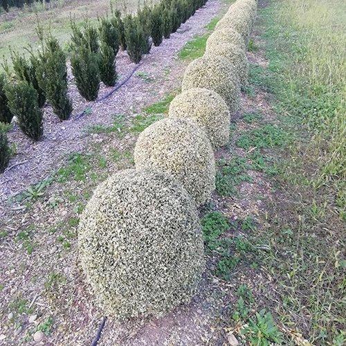 Buxus Sempervirens 'Elegantissima' (palla)