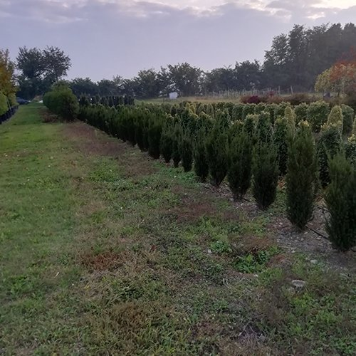 Taxus x media 'Hilly'